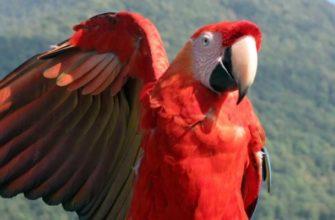 Африканский-попугай