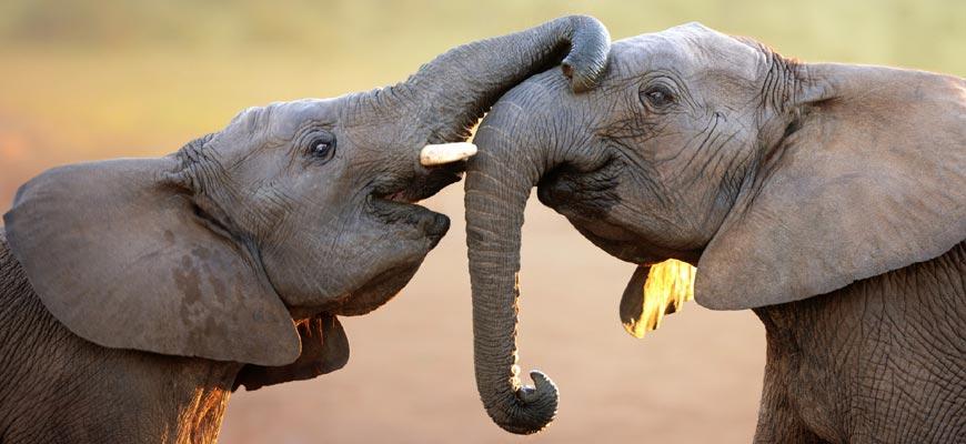 Слоновья нежность