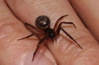 паук ложная вдова на ладони