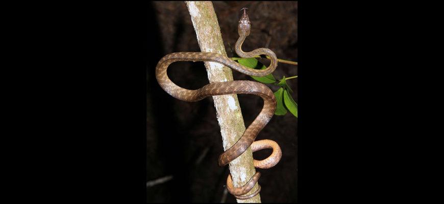 Коричневая древесная змея