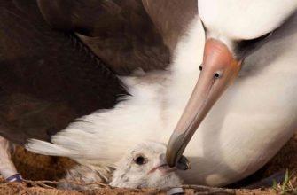 гнездо тёмноспинного альбатроса